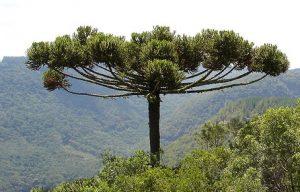 araucaria_angustifolia_gimnosperma_coniferophyta