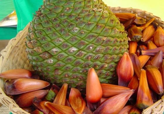 Colheita e venda de pinhão estão liberadas no Paraná