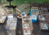 Guarda Municipal de Araucária apreende galos de briga e pássaros silvestres