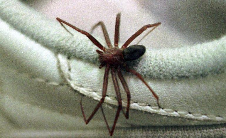 Cuidados para evitar a aranha-marrom devem aumentar no verão