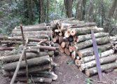 Meio Ambiente e Guarda Ambiental detêm dois por furto e corte ilegal de árvores