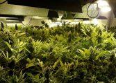 Moderno laboratório de maconha é descoberto pela polícia e mais de 800 pés são recolhidos