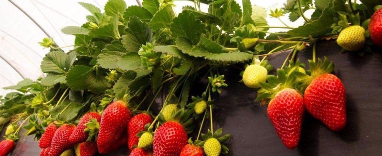 Prefeitura de Araucária vai inscrever produtores interessados em mudas de morango e sementes de forrageiras