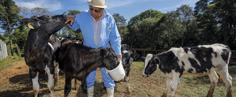 Programa de inseminação artificial visa melhorar rebanho e qualidade do leite em Araucária
