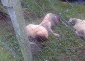 Prefeitura já tem principal suspeita de quem é o 'chupa-cabra' que exterminou animais