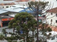 Prefeitura suspende na Justiça corte de araucárias no Centro de Curitiba