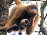 Nasce mais um filhote de muriqui no Zoo de Curitiba