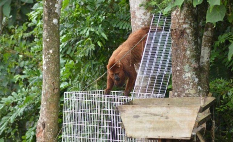 Bugiu do 'Araucária Park' foge das armadilhas e permanece livre na mata