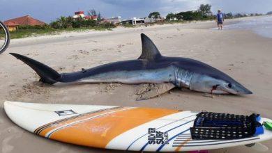 Foto de Tubarão com cerca de 2 metros aparece na Praia Brava, em Guaratuba