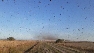 Foto de Nuvem de gafanhotos: governo declara emergência fitossanitária