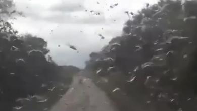 Foto de Vídeos mostram nuvem de gafanhotos que se aproxima do Brasil; confira
