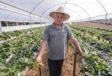 Foto de Produtores de morango de Araucária começam a receber visita técnica para auxílio na plantação